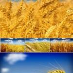 دانلود تصاویر استوک مزرعه گندم Stock Photo Wheat Field