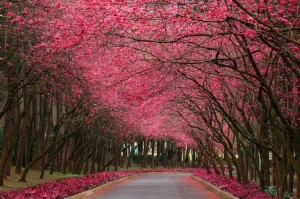 عکس جاده، درخت، گل، جاده در بهار