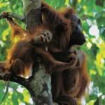 عکس شامپانزه