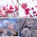 دانلود عکس های استوک گل و شکوفه های بهاری cherry in spring – ClipArt