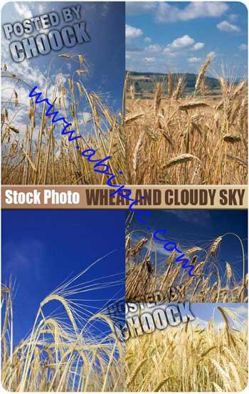 دانلود تصاویر استوک گندم  Stock Photo Wheat