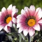 در این سرمای زمستانی این گل های آسمانی تقدیم به شما