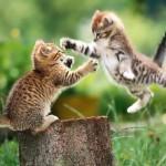 جنگ گربه ها