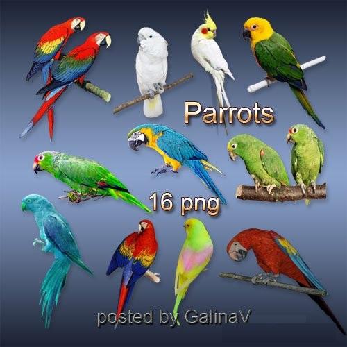 دانلود تصاویر کلیپ آرت طوطی Clipart Parrots PNG on transparent background