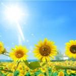 دانلود طرح لایه باز گل آفتابگردان  PSD – Bright Sunflowers