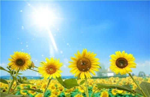 دانلود طرح لایه باز گل آفتابگردان  PSD - Bright Sunflowers