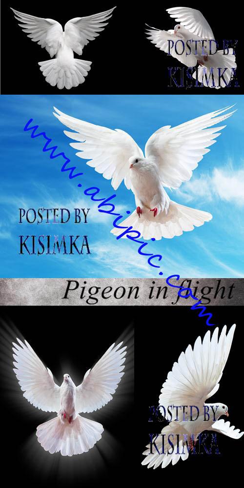دانلود تصاویر استوک کبوتر در حال پرواز Pigeon in flight