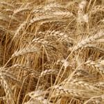 Wheat_004002