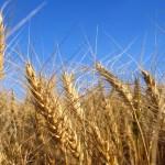Wheat_004003