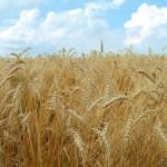 Wheat_004005