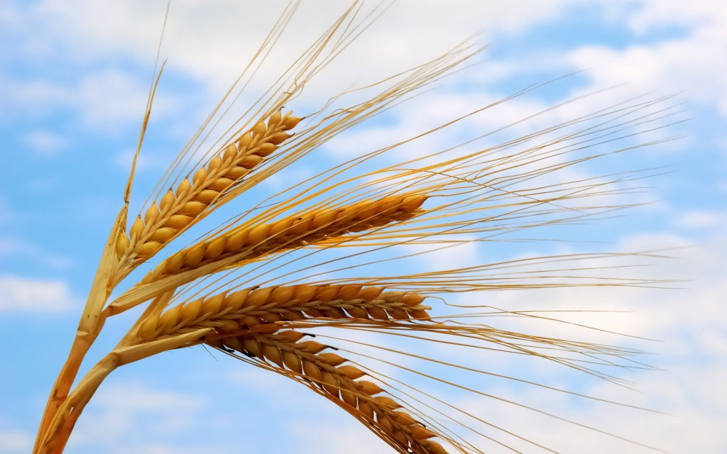 عکس لایه باز گندم | آبی گرافیک | دانلود آموزش ،گرافیک و عکسوالپیپیر های زیبا از گندم و گندم زار