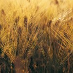 Wheat_004007