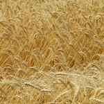 Wheat_004008