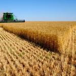 Wheat_004009