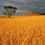 Wheat_004012