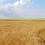 Wheat_004014