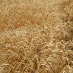 Wheat_004015