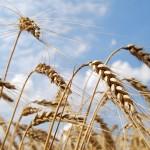 Wheat_004016