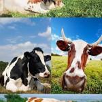 دانلود تصاویر استوک گاو و گاوداری Cow stock photo