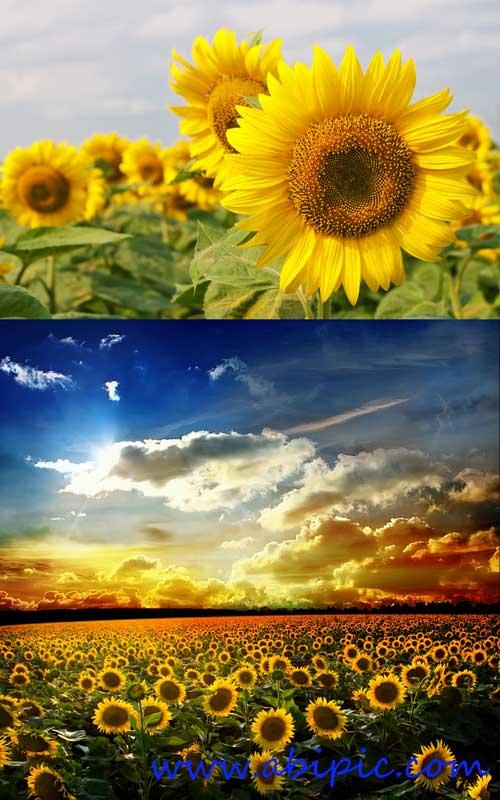 دانلود تصاویر استوک از مزرعه آفتابگردان Field with Sunflowers