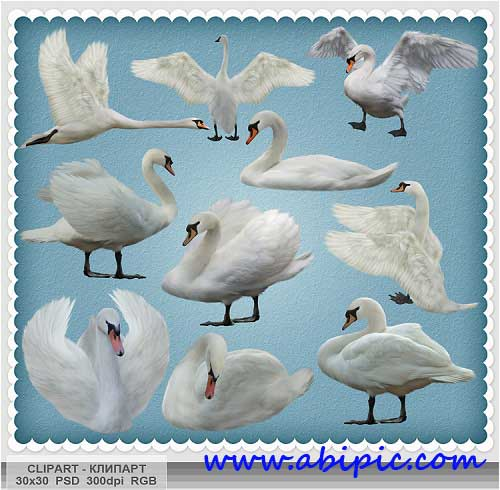 دانلود تصاویر کلیپ آرت قو سفید Swan clipart PSD