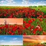 دانلود عکس استوک دشت گل شقایق Stock Photo Field of poppies