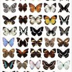 دانلود طرح لایه باز پروانه Butterfly collection in PSD