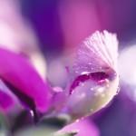 تصاویر بسیار زیبا از گل
