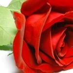 تصاویر بسیار زیبا از گل رز
