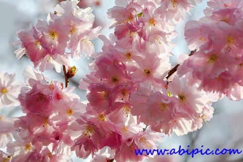 دانلود تصاویر استوک شکوفه بهاری گیلاس Branch of Cherry Blossoms
