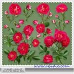 دانلود طرح لایه باز کیپ آرت گل رز Clipart PSD – Scarlet roses