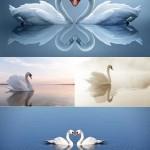 دانلود عکس استوک قو White swans Stock Photo