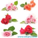 دانلود تصاویر استوک گل رز Stock Photos Pink, red, orange Roses