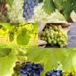 دانلود تصاویر استوک انگور Ripe Grapes Stock Photos