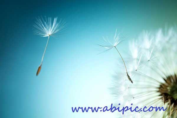 دانلود تصاویر استوک قاصدک Dandelion Stock Photo